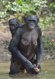 The Bonobo ( Pan paniscus) standing on her legs in water with a cub on a back Stock Photo