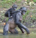 The Bonobo ( Pan paniscus) standing on her legs in water with a cub on a back Royalty Free Stock Photo