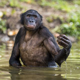 Bonobo ( Pan paniscus ) standing in water Stock Photos