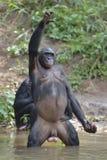 Bonobo (Pan-paniscus) stehend auf ihren Beinen mit einem Jungen auf einer Rückseite und einer Hand oben Lizenzfreie Stockfotos