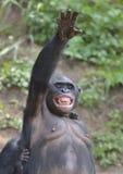 Bonobo (Pan-paniscus) stehend auf ihren Beinen mit einem Jungen auf einer Rückseite und einer Hand oben Lizenzfreies Stockbild