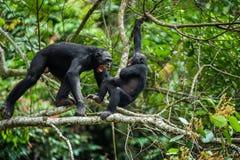 Bonobo (Pan Paniscus) on a tree branch. Royalty Free Stock Photos
