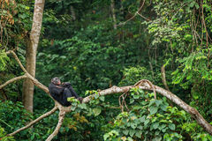 Bonobo (Pan Paniscus) on a tree branch. Stock Images