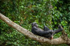 Bonobo (Pan Paniscus) on a tree branch. Stock Photo