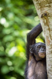 Bonobo (Pan Paniscus) on a tree branch. Green natural jungle background. Royalty Free Stock Photos