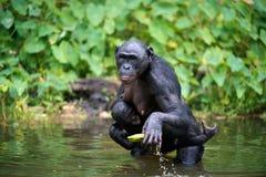 Bonobo (paniscus de casserole) avec l'petit animal dans l'eau Images stock