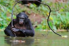 Bonobo (paniscus de la cacerola)   retrato. Fotos de archivo libres de regalías