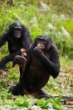 Bonobo in pond stock photos