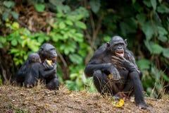 Bonobo poprzedni dzwoniący pigmejowy szympans, (niecki paniscus) obraz royalty free
