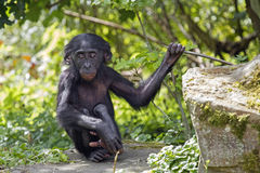 Bonobo Royalty Free Stock Photos