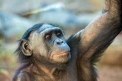 Bonobo portrait female ape close up. Portrait of bonobo female ape close up looking at you Stock Image
