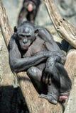 Bonobo portrait female ape close up. Portrait of bonobo female ape close up looking at you Stock Photography
