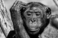 Bonobo portrait female ape close up. Portrait of bonobo female ape close up looking at you Stock Photo