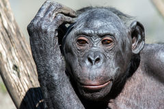 Bonobo portrait female ape close up. Portrait of bonobo female ape close up looking at you Royalty Free Stock Photo
