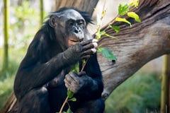 Bonobo portrait female ape close up. Portrait of bonobo female ape close up looking at you Royalty Free Stock Image