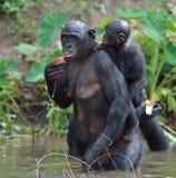 Bonobo que se coloca en sus piernas en agua con un cachorro en una parte posterior El paniscus de la cacerola del Bonobo foto de archivo