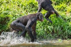 Bonobo running on the water. Royalty Free Stock Image