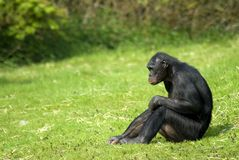 Bonobo sitting Royalty Free Stock Photos