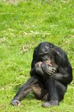 Bonobo sitting Stock Photo