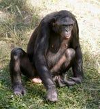 Bonobo sitting in grass Royalty Free Stock Image