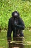 Bonobo sitting in water in a good mood. Democratic Republic of Congo. Lola Ya BONOBO National Park. Royalty Free Stock Photos