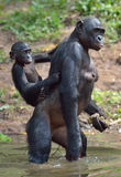 Bonobo standing on her legs in water with a cub on a back.  The Bonobo ( Pan paniscus). Stock Image