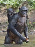 Bonobo standing on her legs in water with a cub on a back.  The Bonobo ( Pan paniscus). Royalty Free Stock Photo
