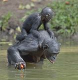 Bonobo standing on her legs in water with a cub on a back and drink water Royalty Free Stock Photo