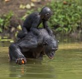 Bonobo standing on her legs in water with a cub on a back and drinks water. Green natural background. Stock Photography