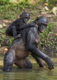 Bonobo standing on her legs in water with a cub on a back. Green natural background.  The Bonobo ( Pan paniscus) Royalty Free Stock Image