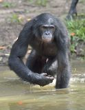 Bonobo standing in water looks for the fruit which fell in water. Bonobo ( Pan paniscus ). Royalty Free Stock Images