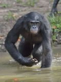 Bonobo standing in water looks for the fruit which fell in water. Bonobo ( Pan paniscus ). Stock Image
