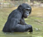 Bonobo standing in water looks for the fruit which fell in water. Bonobo ( Pan paniscus ). Stock Photography