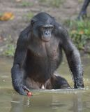 Bonobo standing in water looks for the fruit which fell in water. Bonobo ( Pan paniscus ). Stock Images