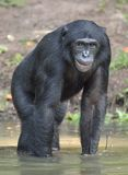 Bonobo standing in water looks for the fruit which fell in water. Bonobo ( Pan paniscus ). Royalty Free Stock Photography