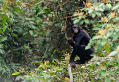 Bonobo on a tree branch. Royalty Free Stock Image