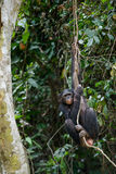 Bonobo on a tree branch. Royalty Free Stock Images