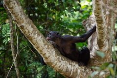 Bonobo on a tree branch. Stock Images
