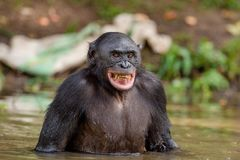 Bonobo in the water. Green natural background. Chimpanzee Bonobo in the water with pleasure and smiles. Bonobo standing in water looks for the fruit which fell Stock Images