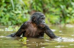 Bonobo in the water. Stock Photos