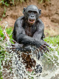 Bonobo in the water. Royalty Free Stock Image