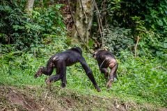 Bonobo weg laufen lassen Stockfoto