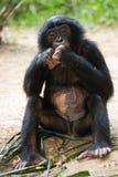 Bonobo zit op de grond Democratische Republiek de Kongo Het Nationale Park van Lola Ya BONOBO Royalty-vrije Stock Foto's
