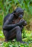 Bonobo zit op de grond Democratische Republiek de Kongo Het Nationale Park van Lola Ya BONOBO Royalty-vrije Stock Afbeeldingen