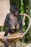 Bonobo zit op een stoel Democratische Republiek de Kongo Het Nationale Park van Lola Ya BONOBO Royalty-vrije Stock Afbeelding
