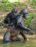 Bonoboanseende på henne ben i vatten med en gröngöling på ett tillbaka anseende arkivfoton
