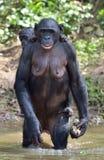 Bonoboanseende på henne ben i vatten med en gröngöling på en baksida Bonobopannapaniscusen arkivfoton