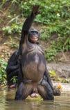 Bonoboanseende på henne ben i vatten med en gröngöling på en baksida grönt naturligt för bakgrund arkivfoton