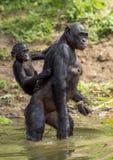 Bonoboanseende på henne ben i vatten med en gröngöling på en baksida grönt naturligt för bakgrund Bonoboen (pannapaniscusen) fotografering för bildbyråer