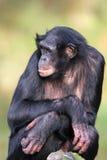 Bonobofrau Lizenzfreie Stockfotografie